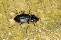 Gewöhnlicher Dammläufer, Pechschwarzer Dammläufer, Laufkäfer, Nebria brevicollis, European Gazelle Beetle
