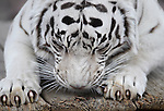 Khan, a 13-year-old white Bengal tiger, sharpens his claws at the Animal Ark in Reno, Nev., on Friday, March 30, 2012. The wildlife sanctuary opens for its 31st season on Saturday..Photo by Cathleen Allison