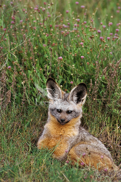 Bat-eared fox (Otocyon megalotis) Serengeti National Park, Tanzania.