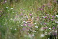 Caracal (Caracal caracal) among wildflowers in Serengeti National Park, Tanzania, Africa
