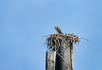 Osprey in salt marsh nest, Cape Charles, Virginia, USA