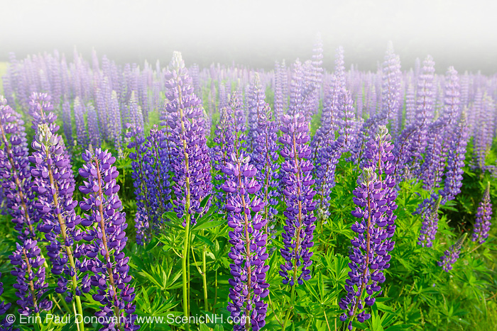 Sugar Hill Lupine Festival - Lupine in Sugar Hill, New Hampshire USA during the spring months in foggy conditions.