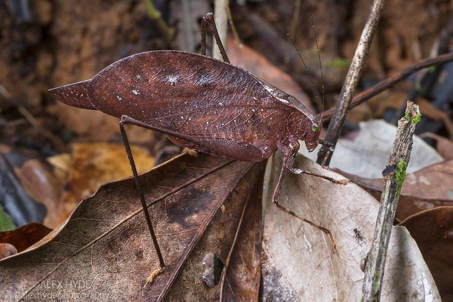 Dead Leaf Katydid {Orophus sp.} camouflaged on the rainforest floor. Osa Peninsula, Costa Rica. May.