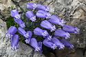 Zois' Bellflower {Campanula zoysii} growing in a crevice on a limestone cliff face. Triglav National Park, Julian Alps, 2000m, Slovenia. July.