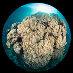 Russell Islands, Solomon Islands; a circular view of a coral bommie covered in mushroom leather corals with the sun overhead
