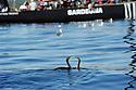 Louis Vuitton Trophy La Maddalena 3 giugno 2010. In attesa che arrivi il vento al mattino. Cormorani e gabbiani fanno compagnia alle barche e agli equipaggi