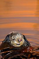 Southern sea otter, Enhydra lutris nereis, resting in kelp, female, yawning, reflection, sunset, dusk, vertical, Monterey, California, USA, pacific ocean, national marine sanctuary, endangered species