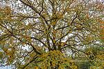 Morning Fog, Valley Oak, Quercus lobata, Acorn Ranch, Yorkville, Mendocino County, California