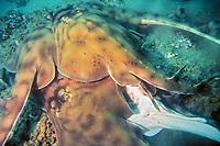banded guitarfish, Zapteryx exasperata, mating, Cabo San Lucas, Baja California, Mexico, Pacific Ocean