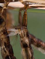 MQ17-509z  Mosquito larva, close-up of air siphon, Ochlerotatus japonicus [Aedes japonicus].