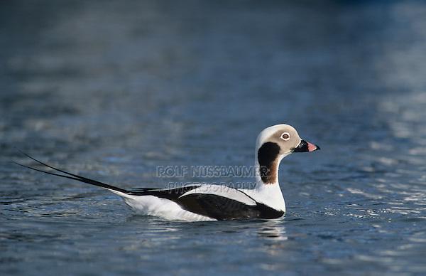 Long-tailed Duck, Clangula hyemalis, male winter plumage, Homer, Alaska, USA