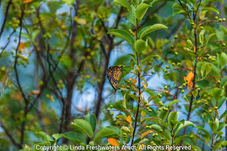 Monarch butterflies mating on a summer day in northern Wisconsin.