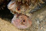 Cute Mating Pair of Downey Blennies being cuddly, Labrisomus kalisherae, Underwater Marine life Behavior, Blue Heron Bridge, Lake Worth Inlet, Riviera, Florida, USA, Intra Coastal Waterway, North Atlantic Ocean.12-12-9-137Pair