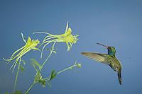 Broad-billed Hummingbird, Cynanthus latirostris, male in flight feeding on longspur columbine(Aquilegia longissima), Madera Canyon, Arizona, USA, May 2005