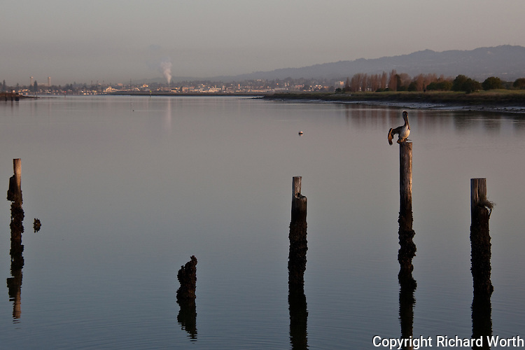Catching the first rays from the rising sun, a Brown pelican sits and stretches on a piling in San Leandro Bay.