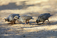 Gambel's Quail adult with babies, Pioneertown, Mojave Desert, California..