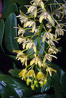 "Dendrobium speciosum orchid species native to Australia, aka Thelychiton. Know as Tar-Beri"" to aborigines, and ""Rock Lily"" or ""King Orchid"" to other Australians"