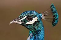 Pfau, Hahn, Männchen, Portrait, Porträt, Pavo cristatus, common peafowl, peacock, Indian peafowl