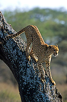 Cheetah in tree for better view of surrounding area.