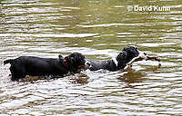 0808-0802  English Springer Spaniels Playing in Water with Stick, Canis lupus familiaris © David Kuhn/Dwight Kuhn Photography.