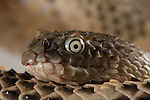 Close-up of a Horned Sea Snake (Acalyptophis peronii) Sea snakes are venomous elapid snakes that inhabit marine environments for most or all of their lives. They are found in warm coastal waters from the Indian Ocean to the Pacific. All have paddle-like tails and many have laterally compressed bodies that give them an eel-like appearance.