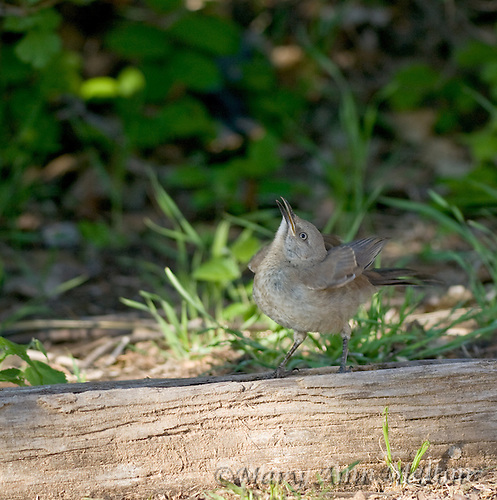 A currve-billed thrasher chick, Toxostoma curvirostre, looks up at its mother and begs for food. Lake Tanglewood, Amarillo, Texas.