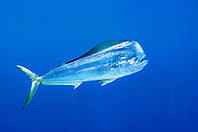 mahi mahi, dolphin fish, or dorado, bull, .Coryphaena hippurus, free-swimming, .at FAD (Fish Aggregation Device), .Kona, Big Island, Hawaii (Pacific)