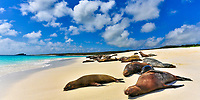 Lion seal herd enjoying a sunbath on paradisiac Garden Bay's white sand and turquoise water beach, on Espanola Island, Galapagos, Ecuador