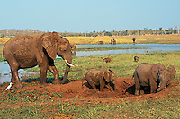African elephant (Loxodonta africana) family enjoying a mud hole.  Africa.