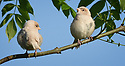 ALBINO HOUSE SPARROW FLEDGLINGS