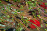 school of golden sweeper, pigmy sweeper, Parapriacanthus ransonneti, fish, off coast of Safaga, Egypt, South, Red Sea,
