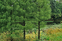 Pine Trees and Pond, Strawbridge Lake, Moorestown, New Jersey