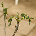 Tender new leaves of a fig tree damaged by frost.