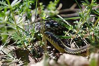 garter snake, Thamnophis,