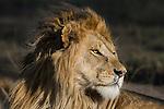 Male African Lion (Panthera leo) at Big Marsh, near Ndutu, Nogorongoro Conservation Area / Serengeti National Park, Tanzania. March 2015
