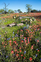 In this image, Indian Paintbrush wildflowers paint a rustic Texas Hill Country landscape red with color, covered with prickly pear cactus and Mesquite trees in to a picturesque postcard scenic - Stock Image