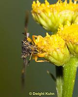 AM11-503z  Ambush Bug, flying from flower, Phymata americana