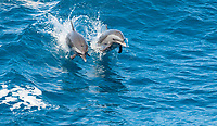 pantropical spotted dophin, Stenella attenuata, jumping, Dominica, Caribbean Sea, Atlantic Ocean
