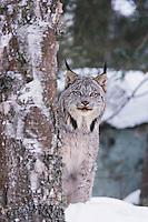Canadian Lynx (Lynx canadensis), adult in snow, captive, USA