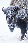 American Bison (Bison bison) female covered with frost in winter, Yellowstone National Park, Montana