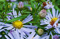 Wild purple daisies.