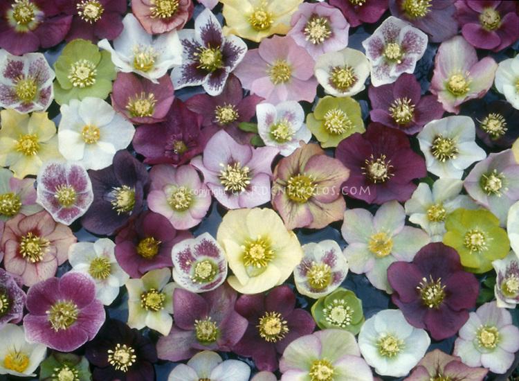 Mixture of Hellebores, Helleborus hybridus - mixed single and anemone-centered