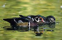 Brautente, Braut-Ente, Paar, Pärchen, Erpel und Weibchen, Aix sponsa, wood duck