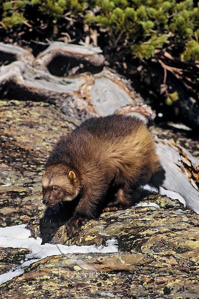 Wolverine on hillside just south of East Glacier, Montana.