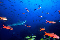 Scalloped HammerHead Sharks ( Sphyrna lewini ) and schooling fish, underwater off Cocos Island, Costa Rica.