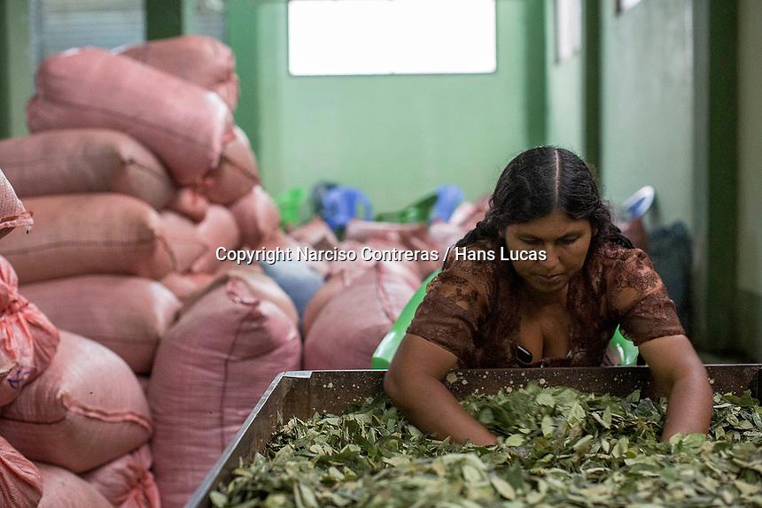 """A female supporter of former Bolivian President Evo Morales, known as coca grower """"cocalero"""", works separating out coca leaves in the local coca market, in Entre Rios, Chapare province, Bolivia. November 27, 2019.<br /> Une femme qui soutient l'ancien président bolivien Evo Morales, connu sous le nom de cultivateur de coca """"cocalero"""", travaille à la séparation des feuilles de coca sur le marché local de la coca, à Entre Rios, province du Chapare, Bolivie. 27 novembre 2019."""