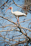 Columbia Ranch, Brazoria County, Damon, Texas; a White Ibis (Eudocimus albus) standing on a tree branch against a blue sky in the late afternoon sunlight