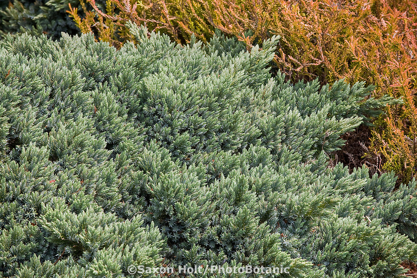 Juniperus squamata 'Blue Star' low growing garden groundcover juniper with silver gray foliage for drought tolerant gardens