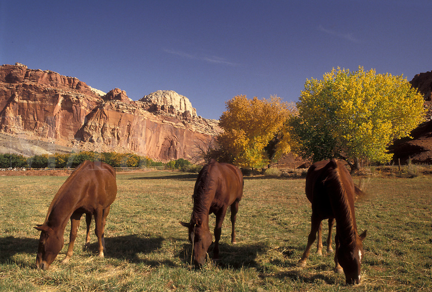 AJ3847, Capitol Reef, horse, Capitol Reef National Park, Utah, Three horses graze in a field below the magnificent reef-like cliffs in Capitol Reef Nat'l Park in the state of Utah.