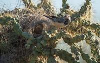 Cactus Wren, Campylorhynchus brunneicapillus, perches near its nest in a cholla cactus in Saguaro National Park, Arizona